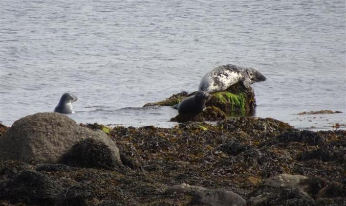 Seals on Arran (Custom)